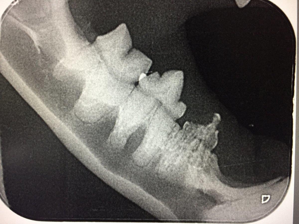 Røntgenbillede af kat med kraftig inflammatorisk tandresorption også kaldet FORL på tand 407, samme case som ovenfor