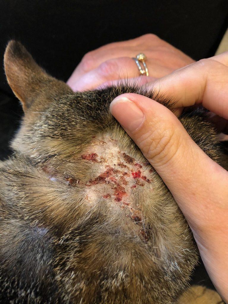Hoved- og hals-kløe på kat sfa ukendt miljø-allergi. Foto Anne Aagaard Nielsen